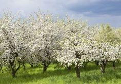 Rijen appelbomen in bloei. Voorjaar boomgaard. Stockfoto