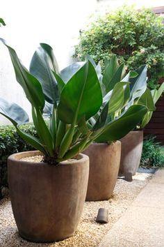 Vasos em destaque com pacovas (Philodendron martianum) à altura dos olhos. Especie resistente a áreas de meia-sombra. Em jardins ou dentro de casa: a planta precisa de umidade constante e terra com bastante composto orgânico.