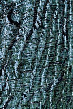 Acer tegmentosum