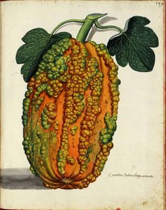 "Vintage illustration - ""Cucurbita indica oblonga ucrucata"" in other words, a gourd squash from the West Indies. beautiful."