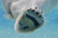 Polar bears have small pads on their paws, called papillae, that help them grip the ice. By ucumari, via Flickr.