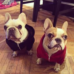 The Evil Adventures of TurtleBatPig, the French Bulldogs