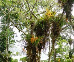 site de las orquideas nativas en Paraguay - Pesquisa Google