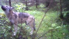 Norway plans to kill Most of its Wolves! For animal people. Pass it on.