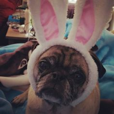 I was waiting for the Easter bunny. Pug with bunny ears.