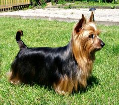 You wouldn't think it by just looking at her, but the Silky Terrier doesn't shed much. WIN!
