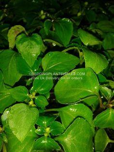 FLOWERS IN BLOOM - PLANT PHOTOS IN BLOOM - BEDDING PLANTS WALES Blooming Flowers, Wales, Plant Leaves, Bedding, Plants, Photos, Pictures, Bed Linen, Flora