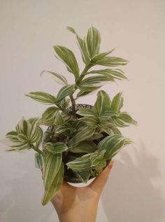 Tradescantia  fluminensis Herbs, Flowers, Plants, Herb, Plant, Royal Icing Flowers, Flower, Florals, Floral