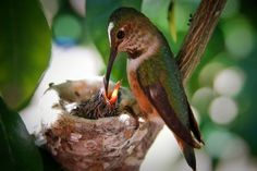 Hummingbird feeding her baby! It's amazing how she can feed them without stabbing their throats! Lol!