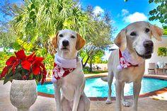Supplier of island Bahama Hawaiian Tropical dog collars, hawaiian bandanas, dog leashes, dog accessories,and dog toys. Potcake Dogs, Santa's Little Helper, Dog Collars, Dog Leash, Dog Accessories, Dog Toys, Pretty Dresses, Bandana, Labrador Retriever