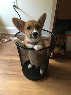 Cute Corgi puppy in timeout zone