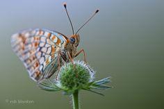 Niobe Fritillary (Argynnis niobe, duinparelmoervlinder)