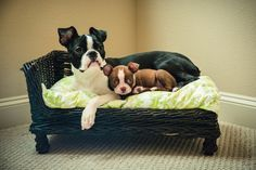 © Ama Photography, Boston Terriers, #puppy