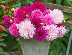 Blueberry Mojito Dahlia Collection. Picture; Woolmans