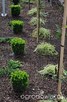 Lawendowy zawrót głowy - strona 770 - Forum ogrodnicze - Ogrodowisko Plants, Planters, Plant, Planting