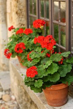 I just love red geraniums in terra cotta pots!