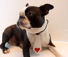My Valentine Pet Tie The Bubba Tie for Happy Pets by GypsyTailor, $10.00 - and he looks like Louie