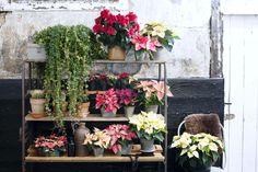 Weihnachtsstern oder Poinsettie – diese Pflanze ist einfach schön. #pflanzenfreude