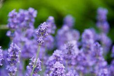 levandule (květ)-Foto:Fotobanka stock.xchng