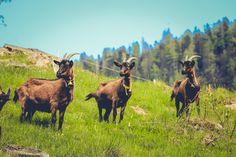 Moose, Animals, Elk, Animales, Animaux, Animal, Animais