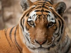 Tiger Genome Sequenced, Shows Big Cats Evolved to Kill