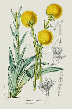 Craspedia is a genus of flowering plants in the daisy family commonly known as Billy buttons and Woollyheads. They are native to Australia and New Zealand. From 1845 Louis Van Houtte Flores de Serres Australian Botanical Flowers Butterfly Illustration, Plant Illustration, Botanical Illustration, Flower Illustrations, Vintage Botanical Prints, Botanical Drawings, Antique Prints, Botanical Flowers, Botanical Art