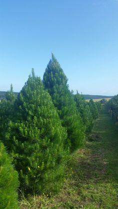 Summer's Christmas Trees, South Head, Auckland
