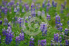 Arctic Lupine (Lupinus Ancticus) - Download From Over 26 Million High Quality Stock Photos, Images, Vectors. Sign up for FREE today. Image: 32162565