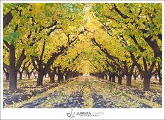 Apricot orchard in autumn  Palisade   Colorado    Jurgita Lukos Photography