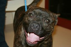 REESE...Lovable guy! ALIQUIPPA, PA..This is Reese, a 1 ½ year old Staffordshire Terrier. This young man loves everybody! He is good with children of all ages and seems to really like other animals. He is housebroken, and knows basic commands. As with most dogs, there is a catch....