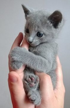 Its the little pink paws!!!!!  Russian Blue kitten.