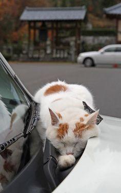 寺の境内でゆったりとした時間を過ごす猫。「オオタクン」というこの猫は、自動車のボンネットで暖をとっていた=11月22日、福井県越前市の御誕生寺(尾崎修二撮影)