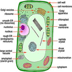 Incredibly Creative Tips on How to Make a Plant Cell Model ... - photo#38