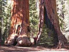 Sequoia National Park. I've been in awe of these trees since I was a kid. I need to see them in person some day.