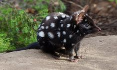 Eastern quolls return to Australian mainland after more than 50 years – – Charles - Baby Animals Interesting Animals, Unusual Animals, Rare Animals, Cute Baby Animals, Animals Beautiful, Animals And Pets, Wild Animals, Spotted Animals, Exotic Animals