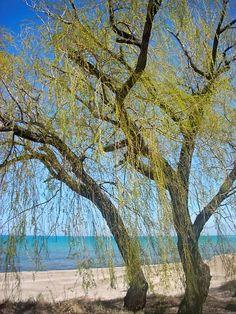 Spring Willow 1