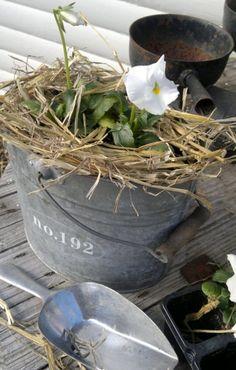 White Pansy Nest