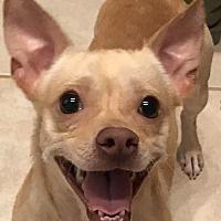 Pictures Of Roki A Chihuahua For Adoption In Orlando Fl Who Needs