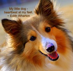 My Sheltie, Sadie. ***In remembrance of my Laddie! Kittens And Puppies, Small Puppies, Shetland Sheepdog, Mundo Animal, Medium Dogs, Sheltie, Little Dogs, Animals Beautiful, Animals And Pets