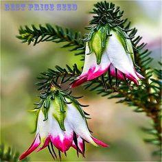 販売6種類のフクシア多年生の花の種選ぶことができます鉢植えの花diy植栽花ベルフラワー種子の50ピースドレス