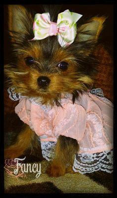 Fancy is her name   A community of Yorkshire Terrier lovers!