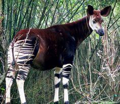 OKAPI 28 endangered animals