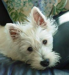 My Favorite Kind of Dog.   A Westie