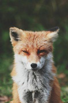 #fox #lovely #wild #animal