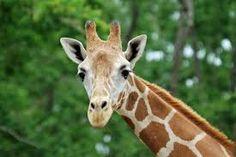 giraffe - Google Search