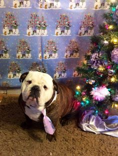 English Bulldog taking his Christmas picture #english #bulldog #englishbulldog #dogs #pets #animals #bulldogs #dog #canine #pooch #bully #breed #christmas