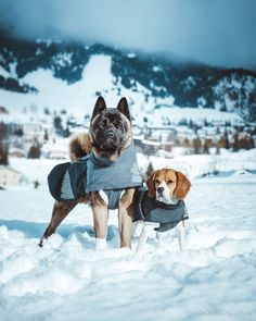 La Grande Odyssée Savoie Mont Blanc 2018 Beagle, Mans Best Friend, Best Friends, Cute Puppies, Dogs And Puppies, American Akita, Cane Corso, Working Dogs, Inu
