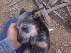 Man's best friend. ACD. Cattle dogs are extremely loyal.