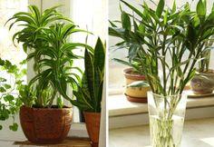 A pesar de su aspecto, el bambú de la suerte es una drácena nativa de las selvas tropicales de Africa.