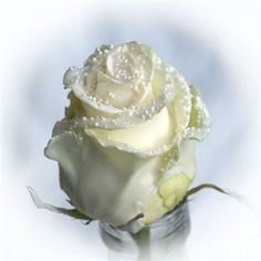 Buy Roses waxed Choco White Pearl at wholesale prices & direct UK delivery. White Roses, White Flowers, Florist Supplies, Buy Roses, Spray Roses, Pearl White, Wedding Flowers, Wax, Pure Products